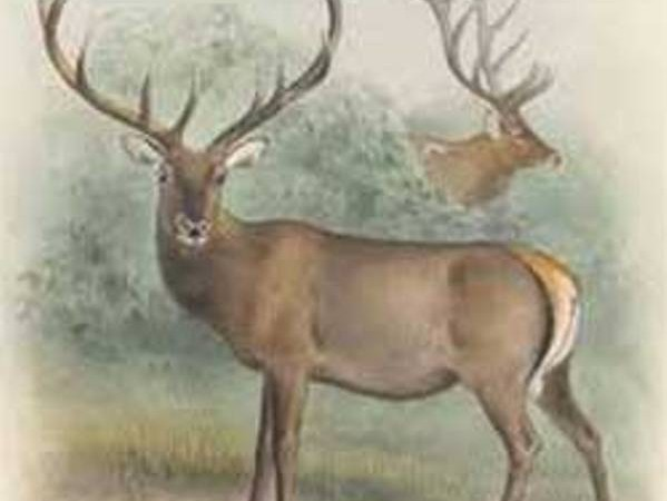 El ciervo y sus hermosos cuernos