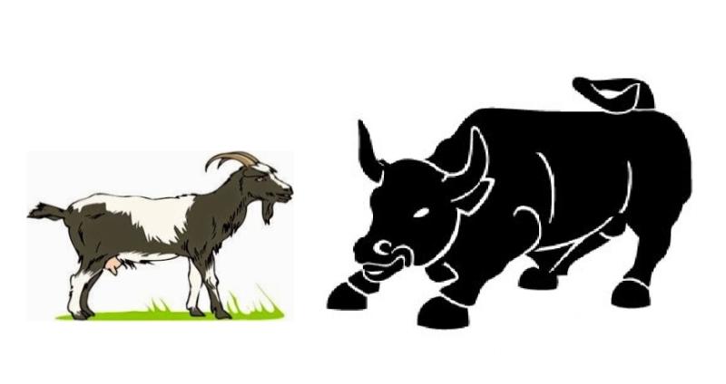 El toro y las cabras