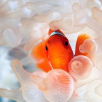 anemona-pez-payaso-g